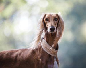 Windhond hondenrassen