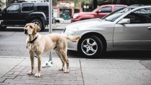 labrador retriever hond