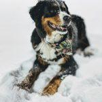 berner sennenhond hondenras