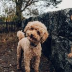 Poedel hondenras