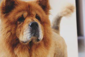 kennelhoest bij hond