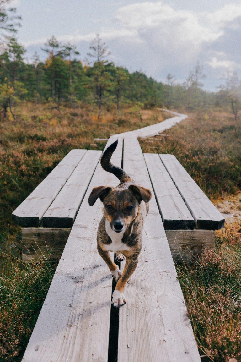 hond teken