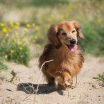 langharige teckel hond