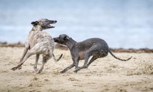 Whippet windhond