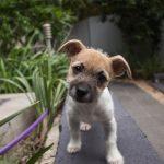 kleine honden die niet verharen