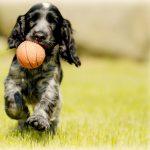 Engelse cocker spaniel hond