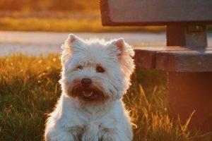 West Highland White Terriër kleine gezinshond