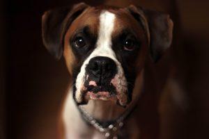 waarom bijten honden