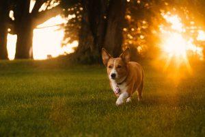 Tropenrooster voor de hond