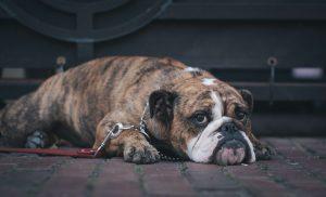 adoptiecontract hond