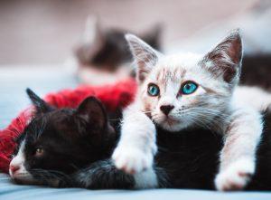 socialiseren van kittens