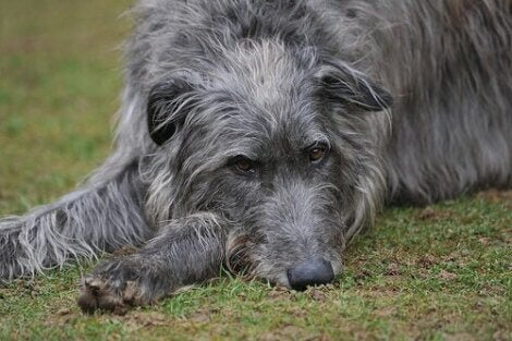 schotse deerhound