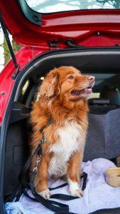 hond wagenziek