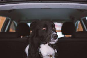 hond wagenziek oplossing