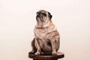 overgewicht huisdieren