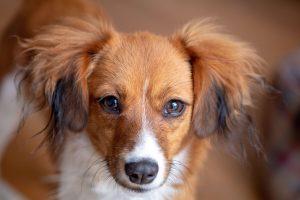 zeldzaamste hondenrassen
