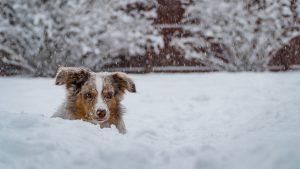 sneeuwneus hond